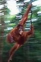 Juvenile Orangutan Swinging on Liana; Tanjung Puting National Park, Indonesia