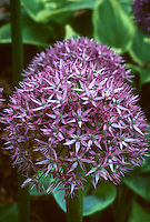 Allium 'Beau Regard' ornamental onion bulb with round cluster of starry purple flowers, easy plant for early summer blooming