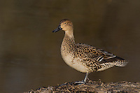 571350019 a wild female northern pintail  anas acuta in a shallow pond at colusa national wildlife refuge califonia