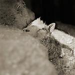 Photograph by Isa Leshko, Finn Sheep, Both Age 12