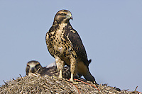 Pair of Swainson's Hawk perched on top of a hay bale
