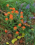 Zumwalt Prairie Preserve, OR<br /> Ground detail of paintbrush (Castilleja spp) and lupine (Lupinus spp) in ponderosa forest near Trail Creek (A Nature Conservancy Preserve)