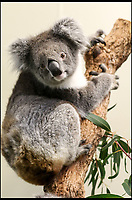 BNPS.co.uk (01202 558833)<br /> Pic: Longleat/BNPS<br /> <br /> One of the cuddly marsupial's before leaving for the UK.<br /> <br /> One of Australia's most iconic but increasingly threatened species has received a boost as a group of koalas have arrived in Britain to start a new European breeding group.<br /> <br /> The five southern koalas, four females and one male, are part of a ground-breaking initiative to start a new breeding programme for Europe, a sort of back-up population away from the threats the species face in their home country, such as bushfires and disease.<br /> <br /> The cuddly marsupials made the epic journey from Adelaide in Australia to Longleat in Wiltshire, which will be the only place in Europe visitors can see the bigger of the country's two subspecies.<br /> <br /> Longleat has created a special new enclosure for them, including developing a 4,000-tree eucalyptus plantation to keep the koalas well-fed.<br /> <br /> Both the South Australian Government and Cleland Wildlife Park have very strict rules on allowing the animals out of the country.
