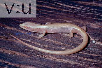 An albino Southern Alligator lizard. Gerrhonotus multicarinatus Central California