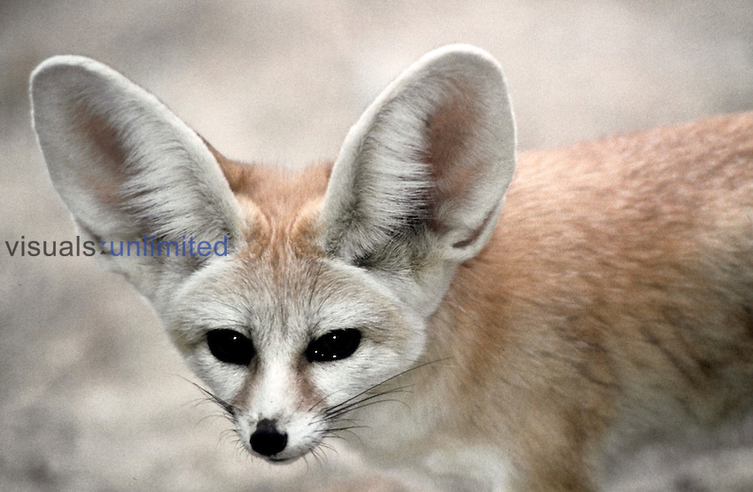 Fennec Fox (Fennecus zerda)...