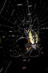 Black yellow argiope spider