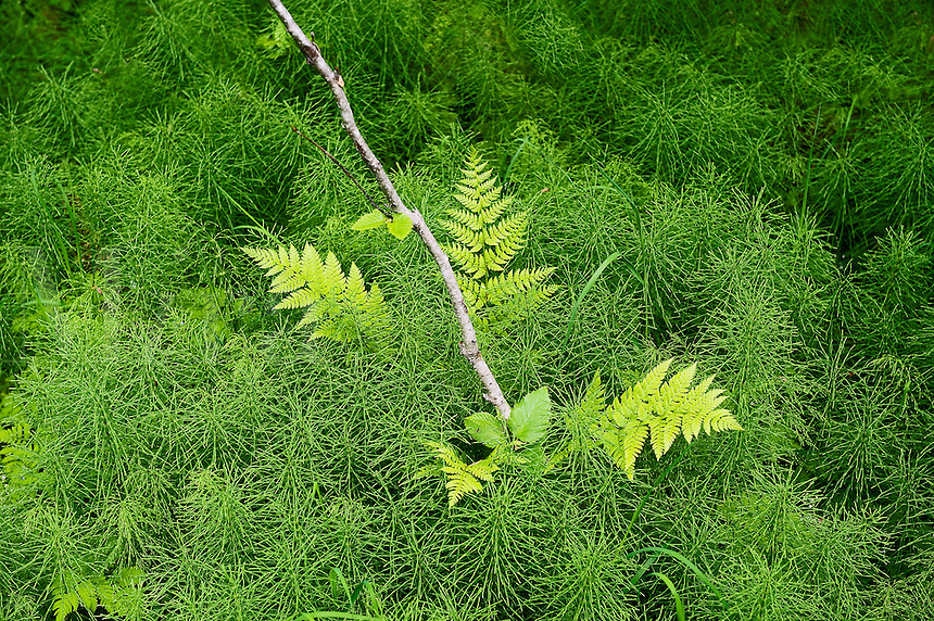 Fern and green undergrowth on the forest floor, Chugach National Forest, Alaska, USA