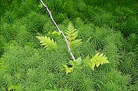 Fern and green undergrowth on the forest floor, Chugach National Forest, Alaska, USA