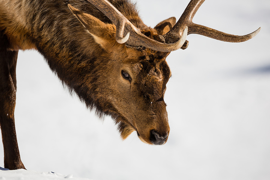 A close-up of a bull elk atop a snowy hillside in Yellowstone National Park, Wyoming.