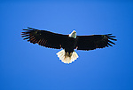 Bald eagle in flight,Southest Alaska