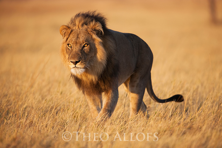Botswana, Chobe National Park, Savuti, male lion (Panthera leo) walking in grass savannah early morning
