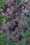 Mexico, Michoacan, Monarch Butterfly Reserve, Riserva de Biosfera de la Mariposa Monarca, UNESCO World Heritage site, monarch butterflies (Danaus plexippus) congregate on oyamel firs (Abies religiosa)