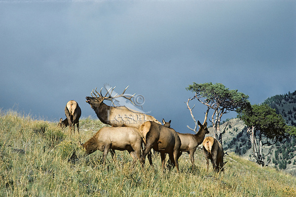 Bull Elk bugling among harem.  Western U.S., fall.