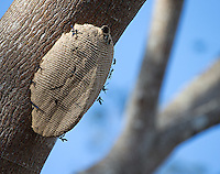 Wasp nests come in different shapes and sizes in the jungle.