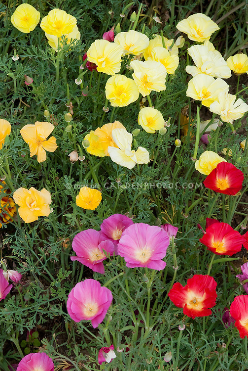 Eschscholzia Fruit Crush mixture California poppies variety of colors