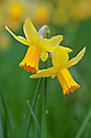 Daffodil (Narcissus 'Jetfire'), mid March.
