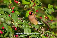01415-03019 Cedar Waxwing (Bombycilla cedrorum) eating berry in Serviceberry Bush (Amelanchier canadensis), Marion Co., IL