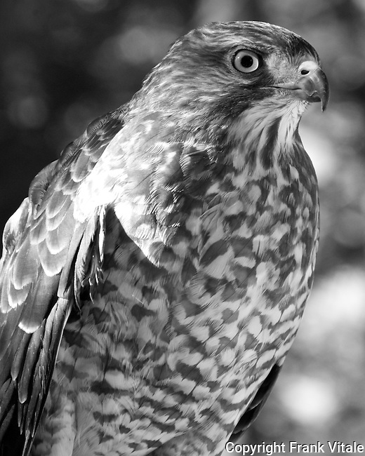 This female Broad-winged Hawk, called Gracie, resides at the Center for Wildlife in Cape Neddick, ME. It is being cared for at the Center for an injury that prevents it from being returned to the wild.