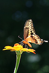 Giant Swallowtail on Mexican Sunflower