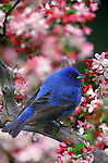 An Indigo Bunting (Passerina cyanea) among Crab Apple Blossoms.