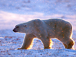 Polar Bears - Cape Churchill Manitoba 08