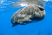 sperm whale, Physeter macrocephalus, Dominica, Caribbean Sea, Atlantic Ocean, photo taken under permit n°RP 17-01/02 FIS-4.