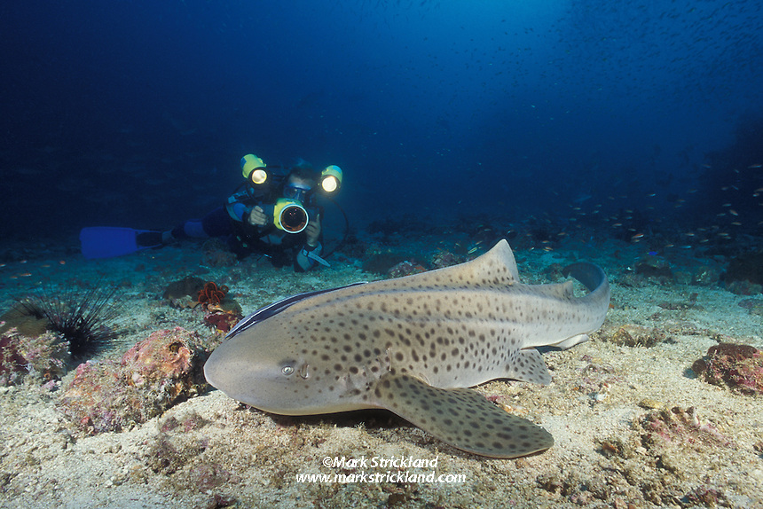Docile and approachable, the Zebra Shark, Stegostoma fasciatum, is a favorite with underwater photographers.  Mergui Archipelago, Burma/Myanmar, Andaman Sea