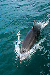 New Zealand, South Island: Dolphins and swimming with dolphins and Dolphin Watch  Ecotour snorkeling in Marlborough Sounds near Picton. Photo copyright Lee Foster. Photo # newzealand125306