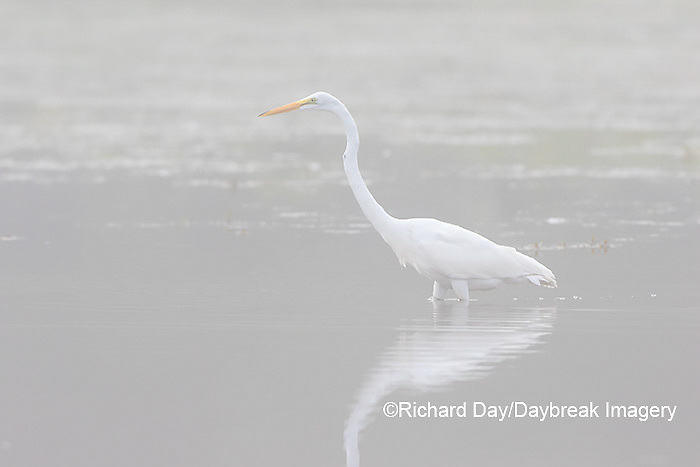 00688-02306 Great Egret (Ardea alba) in wetland in fog, Marion Co., IL