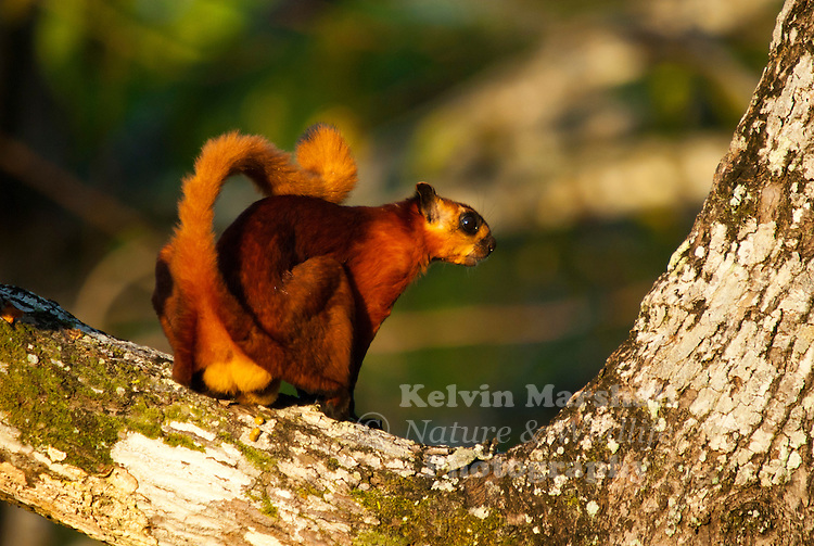 The Red Giant Flying Squirrel (Petaurista petaurista) is a species of flying squirrel, which ranges from the eastern regions of Afghanistan, into Northern India including parts of Jammu & Kashmir, across the Himalayas through to Java, and Taiwan, and also Sri Lanka. It can also be found in parts of Borneo.