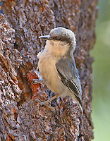 Adult pygmy nuthatch at nest hole