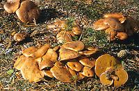 Kuh-Röhrling, Kuhröhrling, Kuhpilz, Suillus bovinus, Jersey cow mushroom, bolet des bouviers
