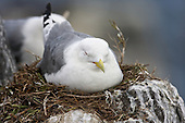Black-legged kittiwake (Rissa tridactyla) Asleep on nest. They take time out as the intervals waiting for the partner to return can take some time and made even harder when the days are warm and humid. Kittiwakes on Nest tend to be the more seasoned parents. Newly paired Kittiwakes often leave the nest unatttended and open to predation.