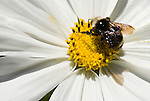 Bumble bee and white cosmos