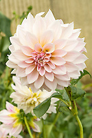 Dahlia Cafe au Lait in pink and lavender flowers