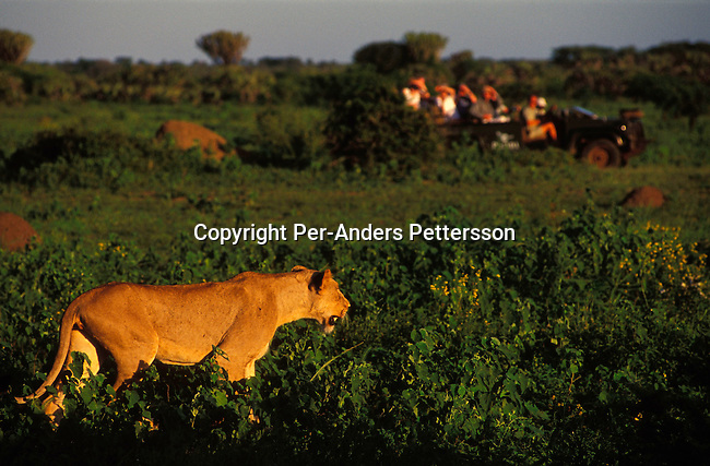 diwllio000117.Wildlife Lions. PHINDA, SOUTH AFRICA: A female lion walks along an open space looking for food as the sun sets on February 17, 2004 in Phinda, an exclusive private game reserve about three hours north of Durban, South Africa. Phinda is a popular attraction for international tourists visiting South Africa and is known for its involvement in the local communities around the park, where they run successful programs to educate the villagers about tourism and many of the people work at Phinda, some managing lodges and work as game rangers. They also have a ranger school that trains people to work on their game reserves..©Per-Anders Pettersson/iAfrika Photos