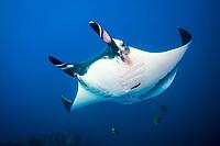 giant oceanic manta ray, Manta birostris, Socorro Island, note scars left by remora, Revillagigedo Islands, Mexico, Pacific Ocean