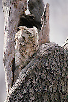 Eastern Screech-Owl (Megascops asio naevius), grey phase in a daytime roost.