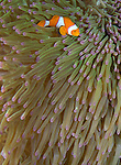 Clown anemonefish (Amphiprion percula) in anemone, Solomon Islands