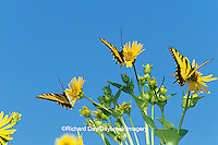 03023-01216 Eastern Tiger Swallowtails (Papilio glaucus) on Cup Plant (Silphium perfoliatum)  Marion Co., IL