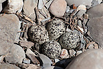 Shore bird eggs in a rocky nest.