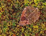 Skeletized black cottonwood leaf, Olympic Peninsula, Washington