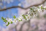 Cherry plum (Prunus cerasifera) at the Arnold Arboretum in the Jamaica Plain neighborhood, Boston, Massachusetts, USA