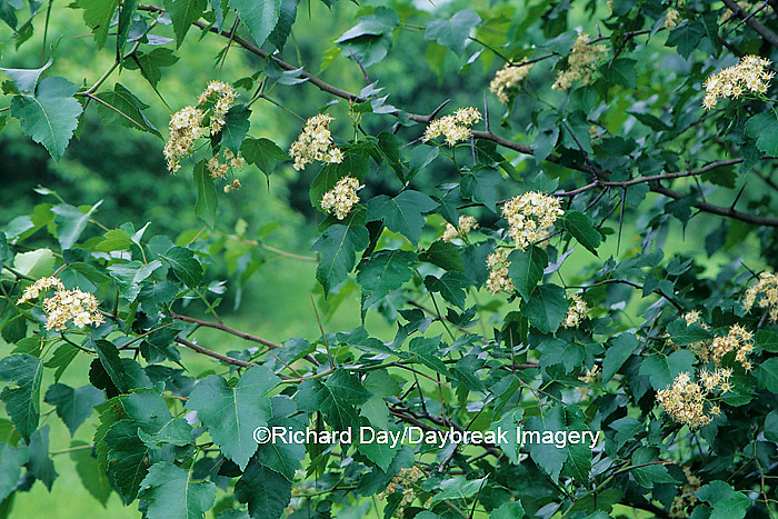 63808-01816 Washington Hawthorn tree (Crataegus phaenopyrum)  with flowers  Marion Co.   IL