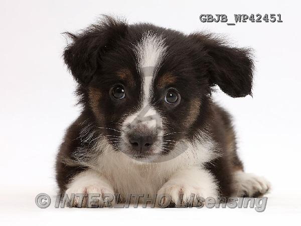 Kim, ANIMALS, REALISTISCHE TIERE, ANIMALES REALISTICOS, fondless, photos,+Mini American Shepherd puppy,++++,GBJBWP42451,#a#
