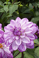 Dahlia 'Seduction' lavender stripe white