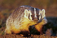 Young badger (Taxidea taxus), Western U.S.