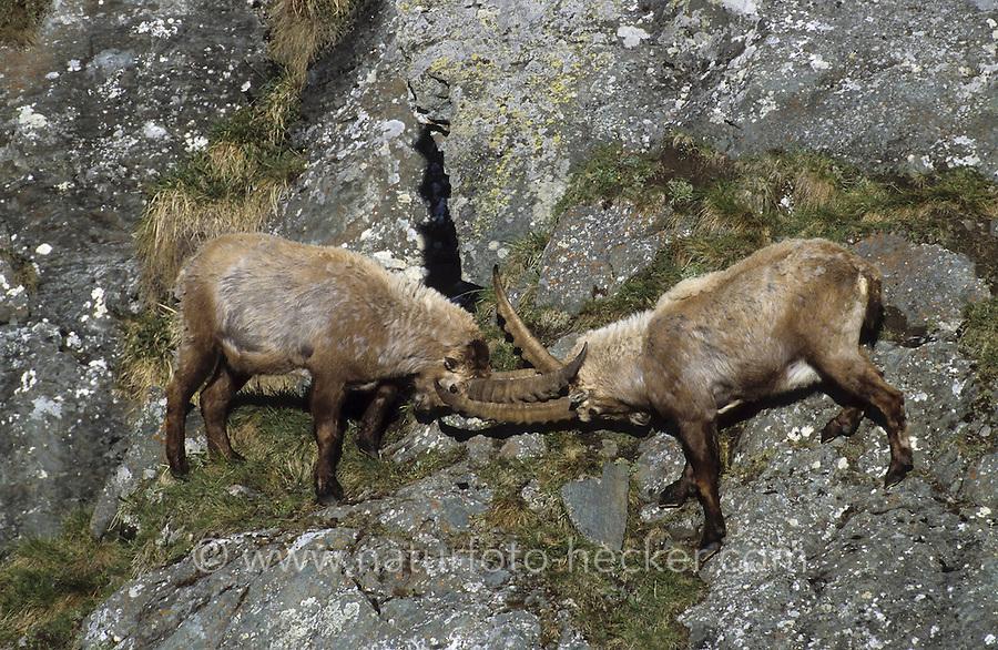 Alpen-Steinbock, Alpensteinbock, Steinbock, kämpfende Männchen, Bock, Capra ibex, alpine ibex