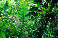 Atlantic rainforest in Serra do Mar mountains, palm leaf in center, epiphytes on tree trunk, Brazil, Rio de Janeiro State.