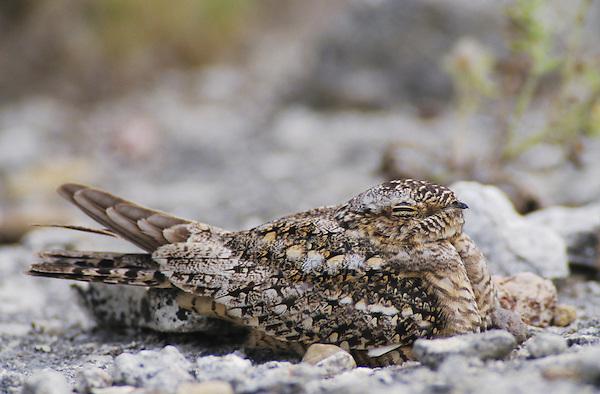 Lesser Nighthawk, Chordeiles acutipennis, female on nest  camouflaged, Lake Corpus Christi, Texas, USA, May 2003